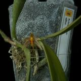 Bulbophyllum affine Wall. ex Lindl.