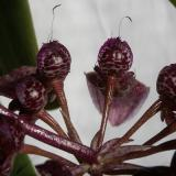 Bulbophyllum longiflorum Thouars