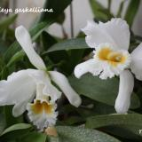 "Cattleya gaskelliana (N.E.Br.) B.S.Williams ""Alba"""