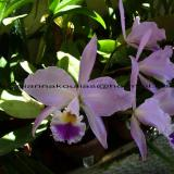 Cattleya gaskelliana (N.E.Br.) B.S.Williams