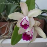 Cattleya intermedia Graham ex Hook.