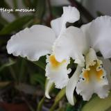 Cattleya mossiae C.Parker ex Hook.