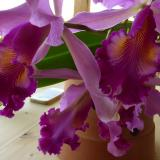 Cattleya × hardyana hort. ex Williams