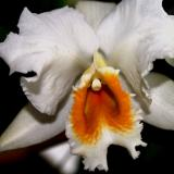Cattleya percivaliana (Rchb.f.) O'Brien