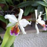 Cattleya rex O'Brien
