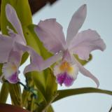 Cattleya warneri T.Moore ex R.Warner