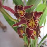 Cymbidium iridioides D.Don