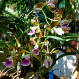 Encyclia tampensis (Lindl.) Small