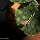 Lepanthes calodictyon Hook.
