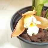 Lycaste dowiana Endres ex Rchb.f.