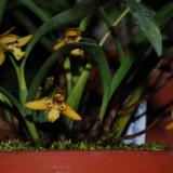 Maxillaria humilis (Link & Otto) Schuit. & M.W.Chase