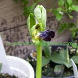 Ophrys fusca subsp. iricolor (Desf.) K.Richt.