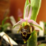 Ophrys scolopax subsp. heldreichii (Schltr.) E.Nelson