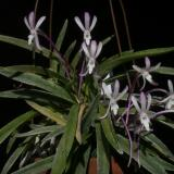 Vanda falcata (Thunb.) Beer