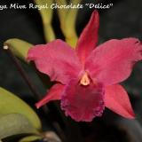 Cattlianthe Miva Royal Chocolate