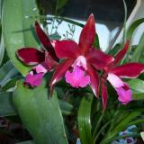 "Cattlianthe Sagarik Wax ""Fragrant Sky"""