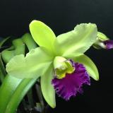"Rhyncholaeliocattleya Kat Green Power ""Big Triple-G"""
