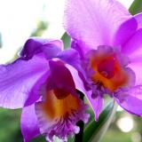 "Cattleya Beaumesnil ""Parme"""