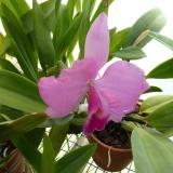 Cattleya Rose Pixie 'Pinafore'