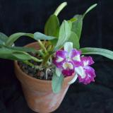 Cattleya Nice Holiday