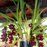 Cymbidium Kiwi Midnight