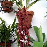 "Cymbidium Little Sarah ""Fairlyland"""