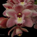 Cymbidium Little Sarah