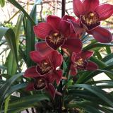 Cymbidium Red Beauty