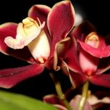 Cymbidium Red Pepper