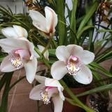 "Cymbidium Royal Promise ""Maxime"""