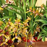 Cymbidium Tiger Moth