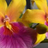 Milmiltonia Sunset
