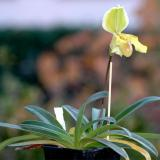 Paphiopedilum In-Charm Gold